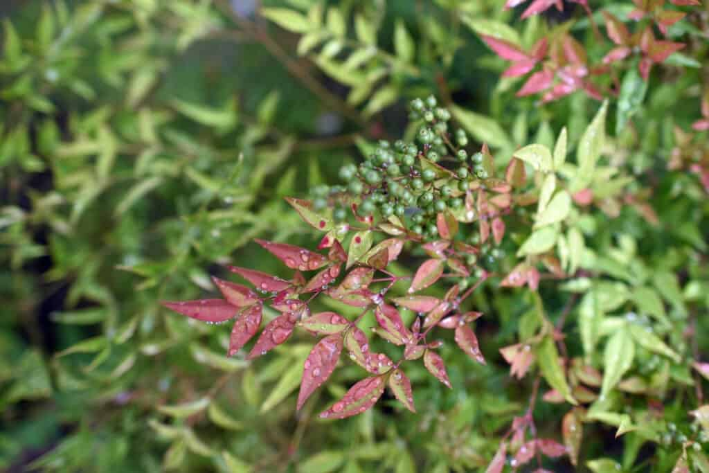 Nandina (also known as heavenly bamboo or sacred bamboo)