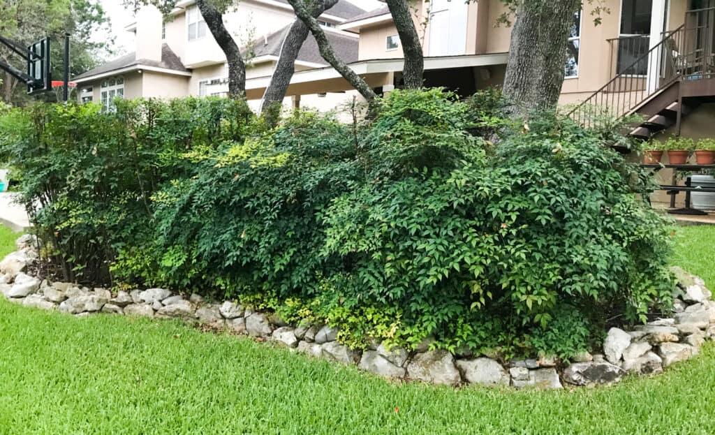 Invasive nandina (heavenly bamboo) in Texas landscape