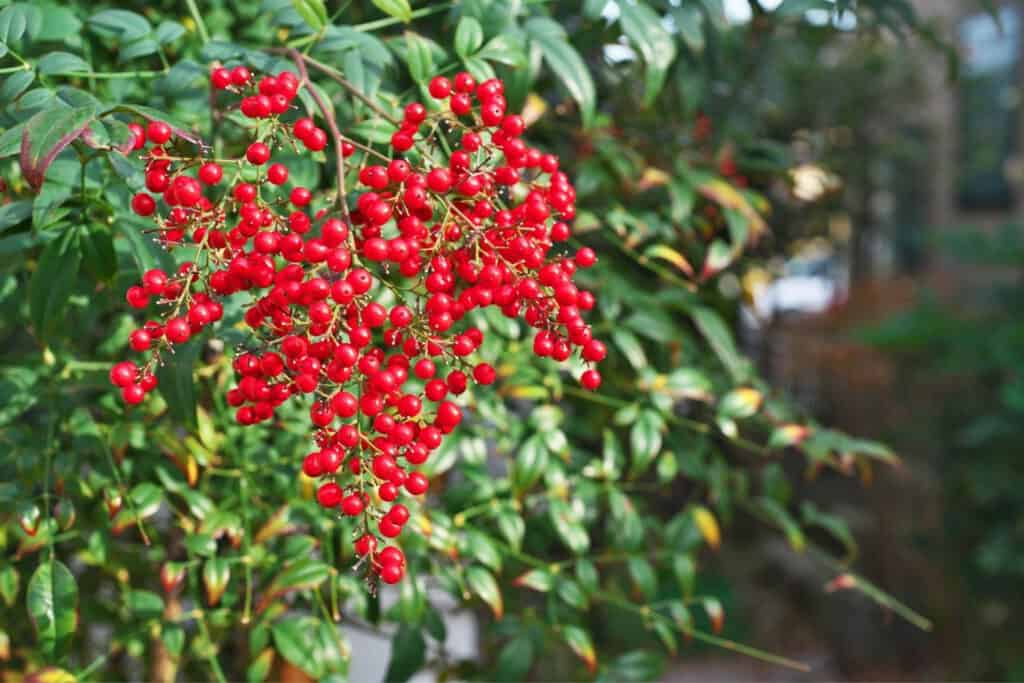 Nandina berries can be spread by birds and animals and cause the plant to escape cultivation and become invasive.