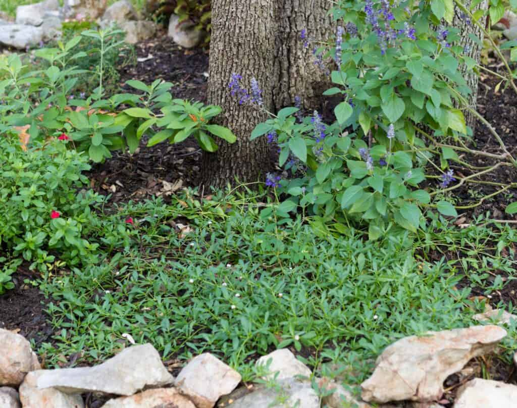 Frogfruit makes a great ground cover plant or lawn alternative.