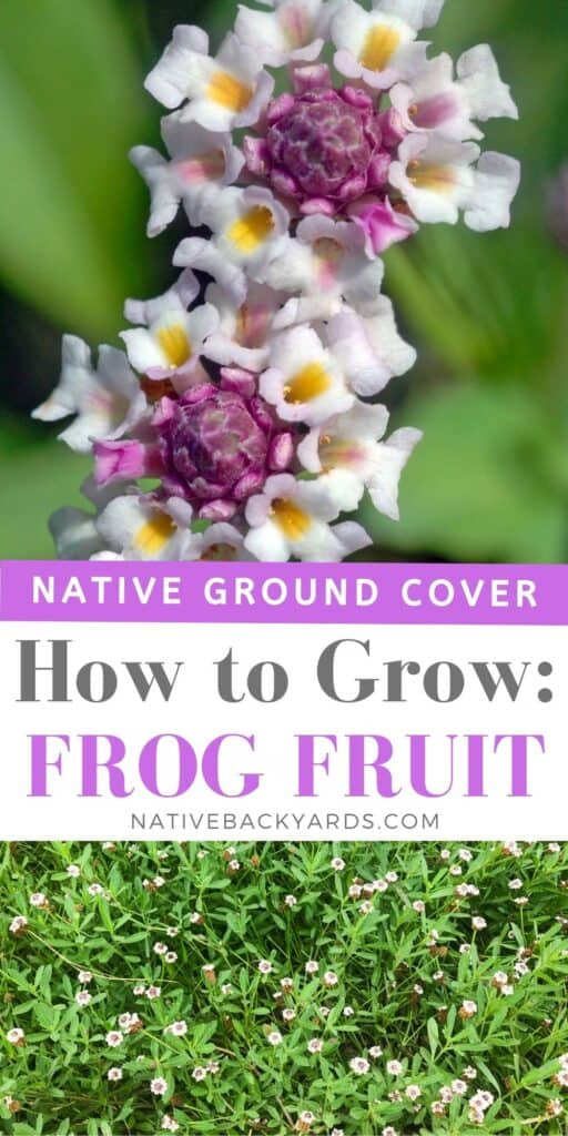 How to grow phyla nodiflora