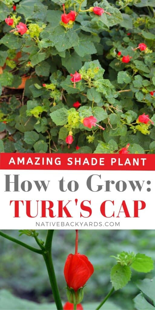 How to grow Turk's Cap - an amazing shade plant and native plant to the Southern US!