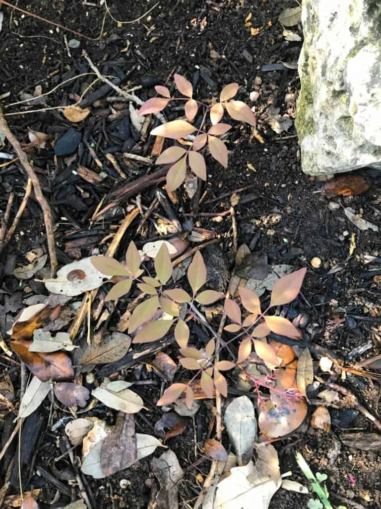 Nandina growing back from root fragments after being removed.
