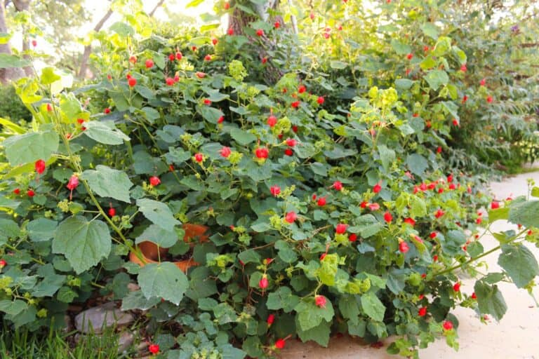 Turk's Cap: My Favorite Native Shade Plant
