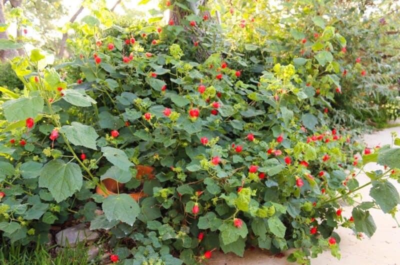 Turk's Cap Plant Texas Native