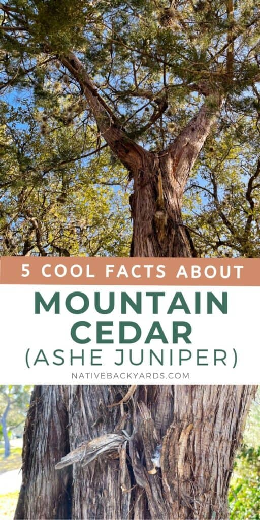 5 cool facts about Mountain Cedar