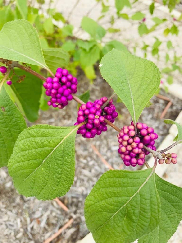 American Beauty Berry plant