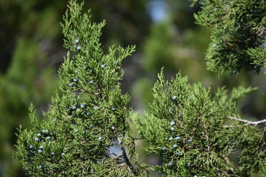 The blue berries of a female Ashe Juniper (Mountain Cedar) tree are actually fleshy cones.