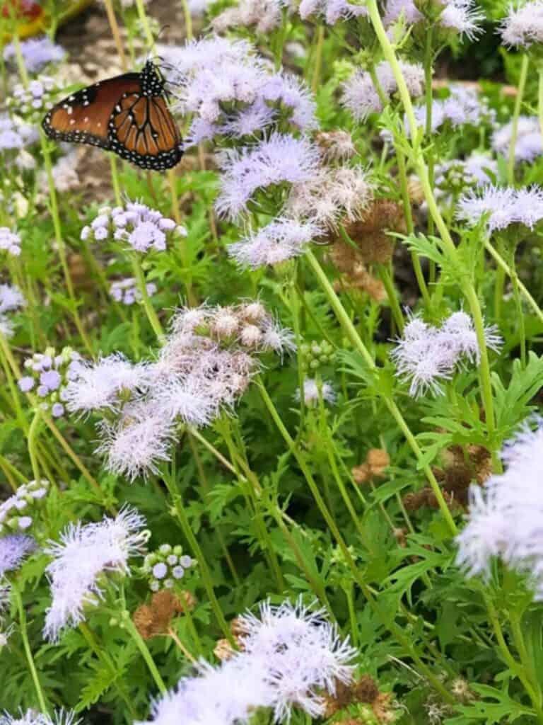 Gregg's Mistflower with Queen butterfly