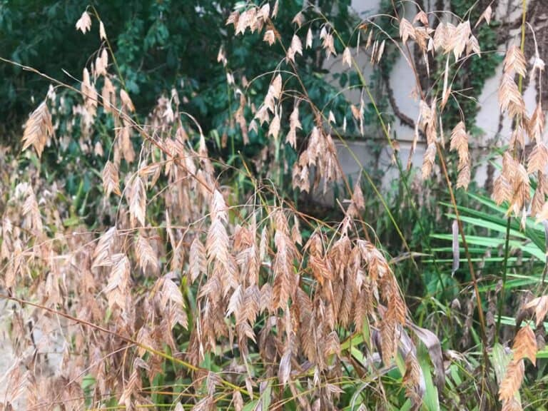5 Great Reasons to Grow Inland Sea Oats