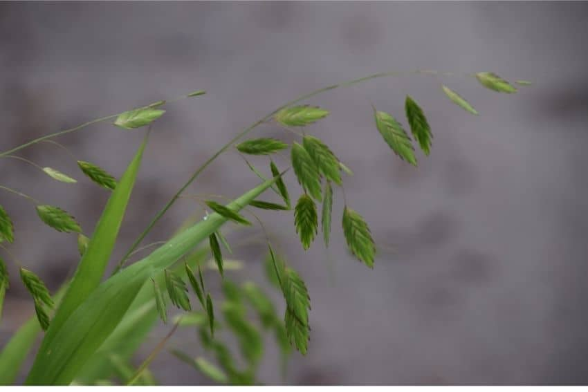 Inland sea oats have green drooping seed heads that are chevron patterned. They turn brown in the fall.