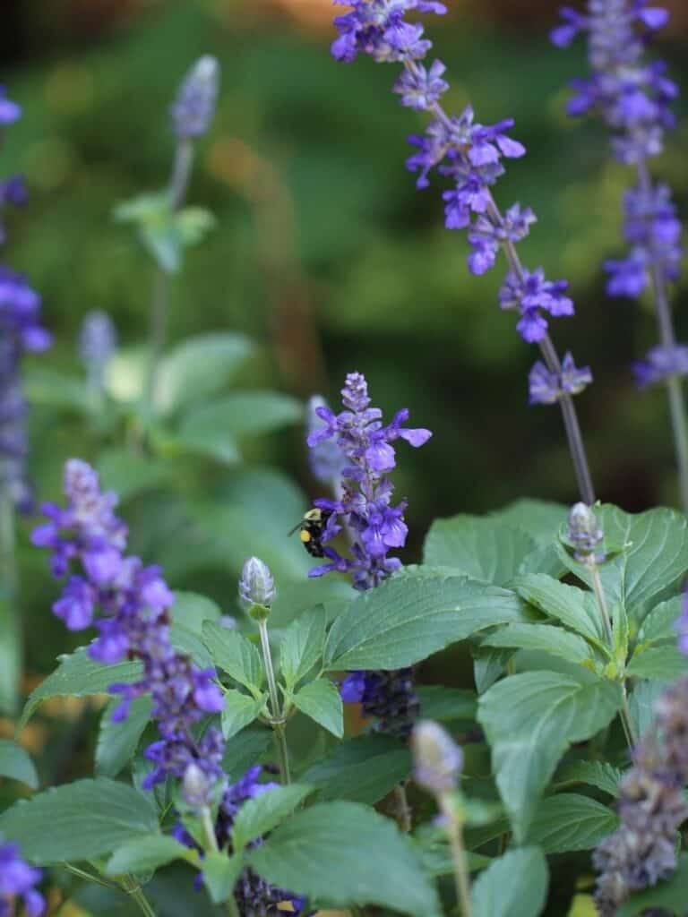 Mealy Blue Sage is one of the great Texas native plants!