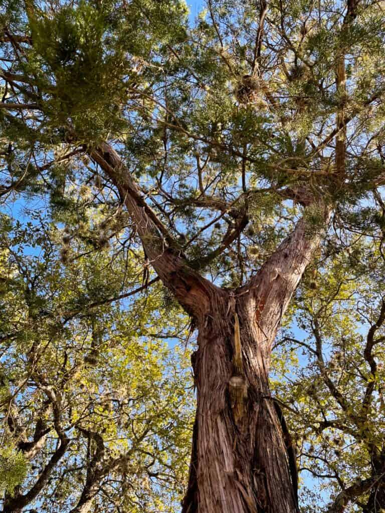 Mountain cedar (Ashe Juniper) tree in San Antonio, Texas.