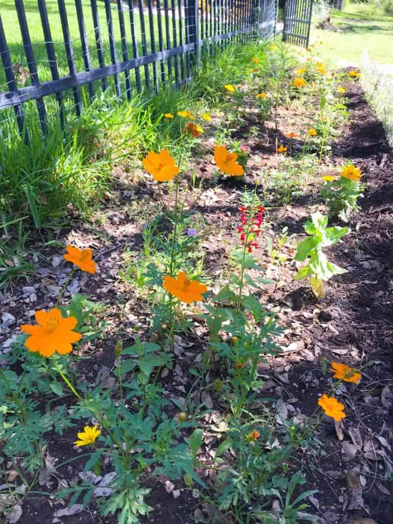 Wildflower garden blooming along backside of fence.