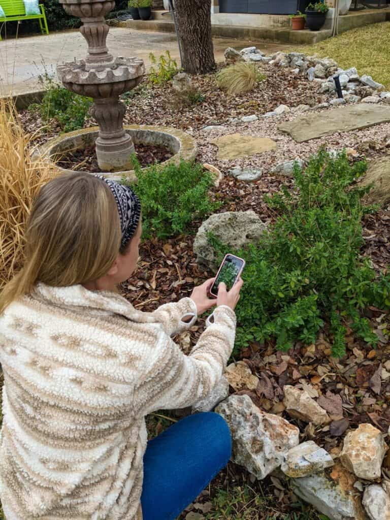 Identify plants by uploading a picture of leaves to the iNaturalist plant id app.
