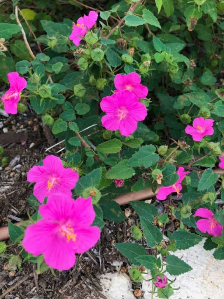 Rock Rose (Pavonia lasiopetala)