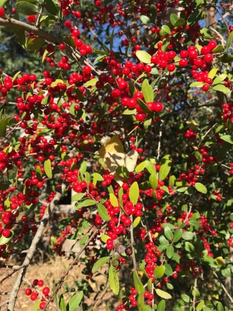 Red berries on Yaupon Holly tree