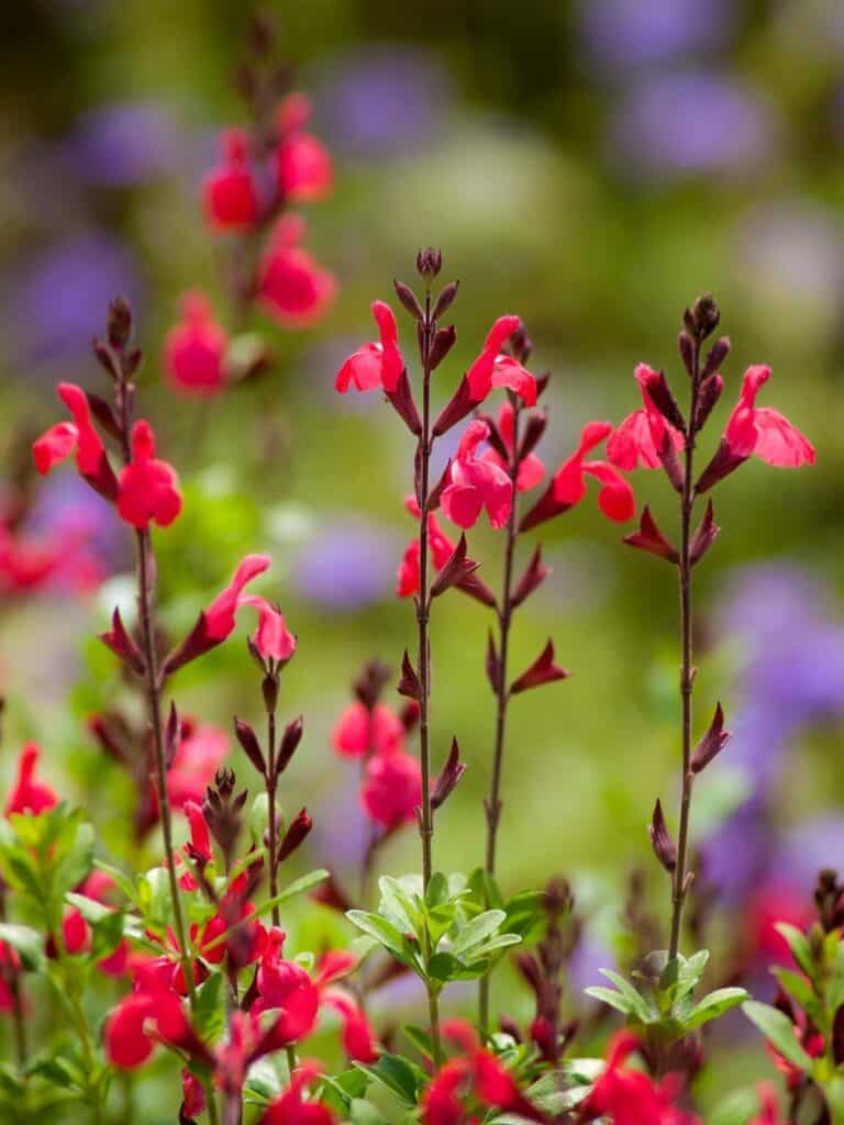 Salvia greggii (Autumn Sage) blooms attract hummingbirds and butterflies.