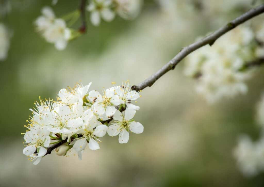 The Mexican Plum is one of the flowering trees of Texas loved by bees.
