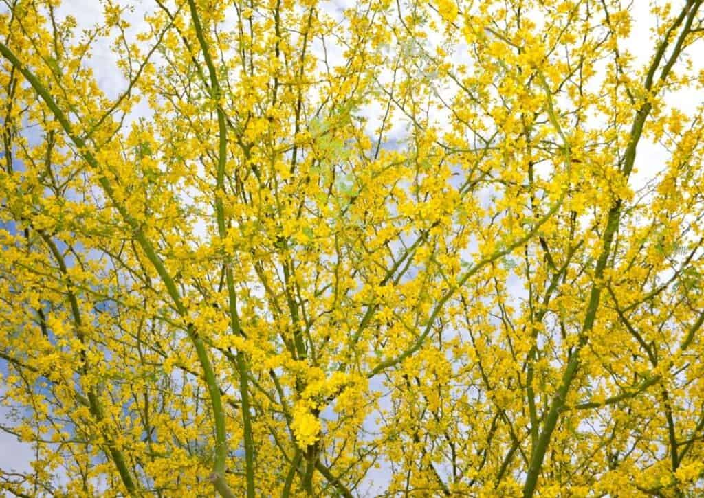 Retama or Palo Verde is known for its bright green branches and yellow flowers in spring.