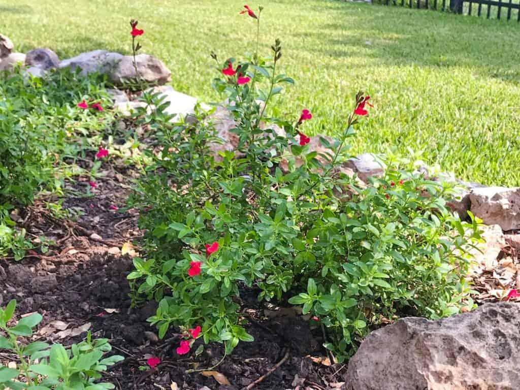 Salvia greggii (Autumn Sage) growing in a Texas native plant garden.