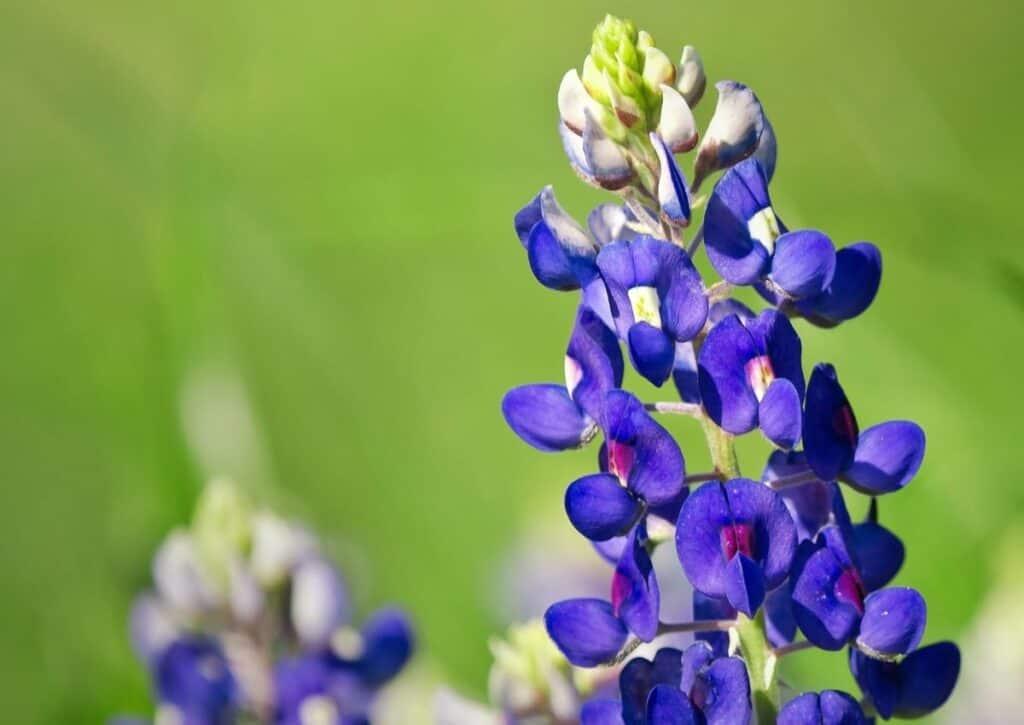 The Texas Bluebonnet flower