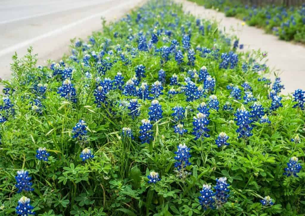 Texas bluebonnets growing between the sidewalk and road.