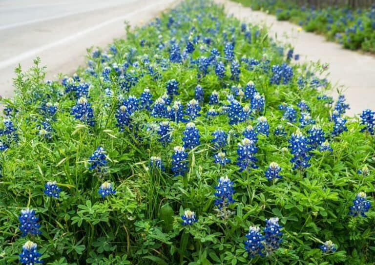 Top 10 Tips for Growing Texas Bluebonnets