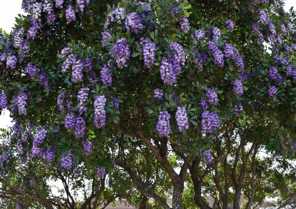 The Texas Mountain Laurel is one of the prettiest flowering trees of Texas.