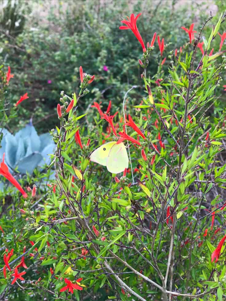 Butterfly on hummingbird bush (Flame Acanthus)