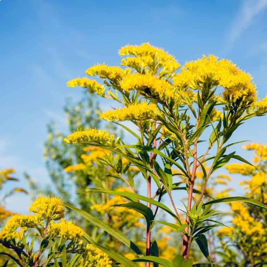 Goldenrod is a host plant to many butterflies.
