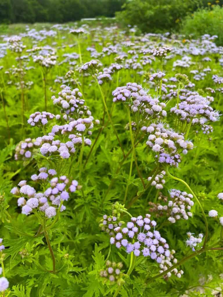 5 Benefits of Growing Greggs Mistflower