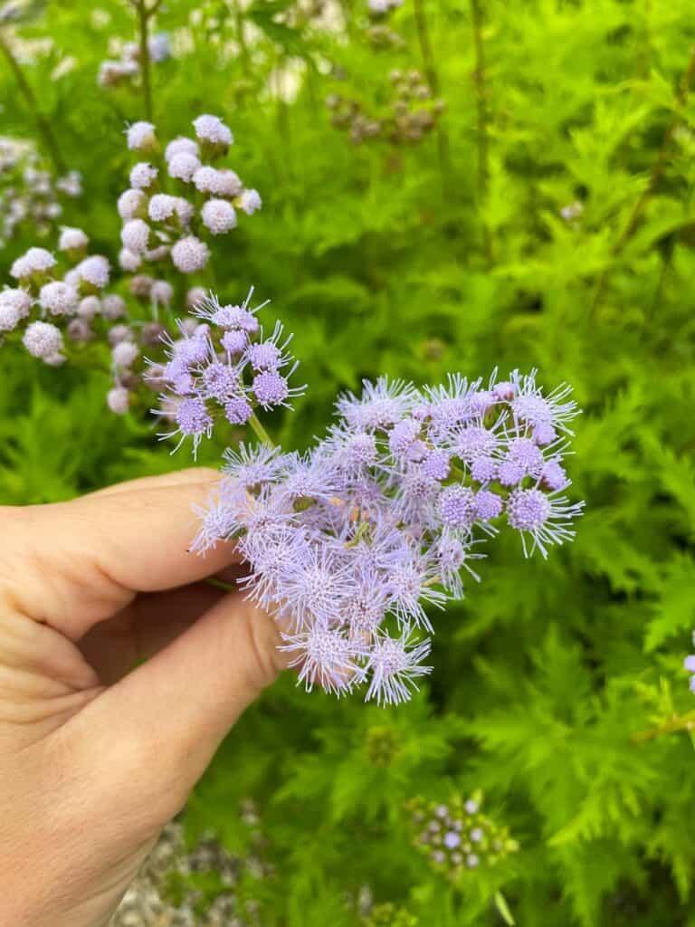 Greggs Mistflower has fluffy clusters of light purple / blue flowers.