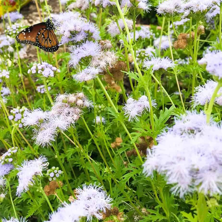 Queen butterfly on Gregg's Mistflower (Conoclinium greggi)