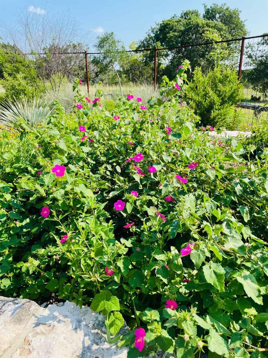 Texas rock rose
