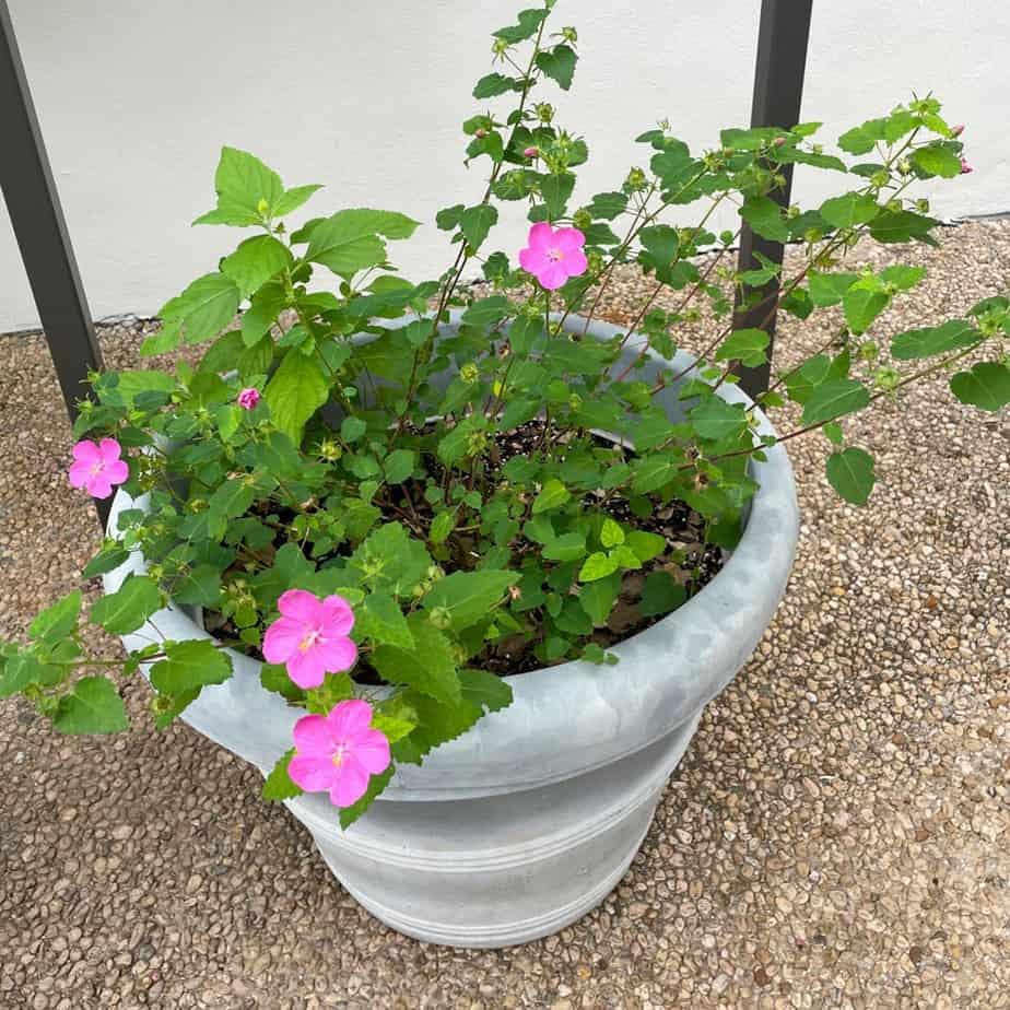 Rock rose plant