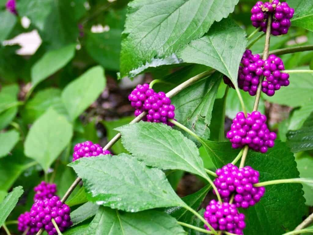 American Beautyberry bush with purple berries