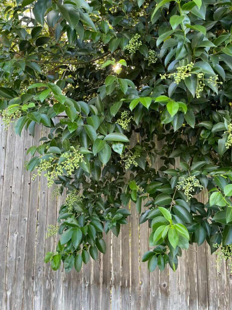 5 Important Reasons to Not Plant Ligustrum (Privet)