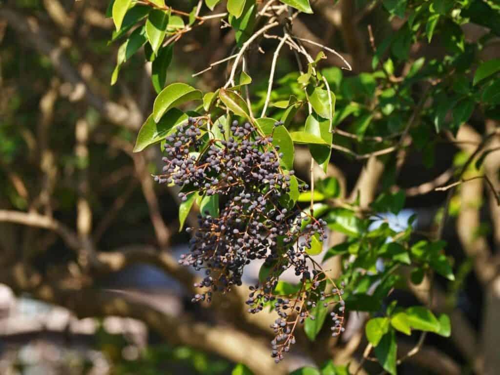 Purple fruit on Ligustrum (Privet)
