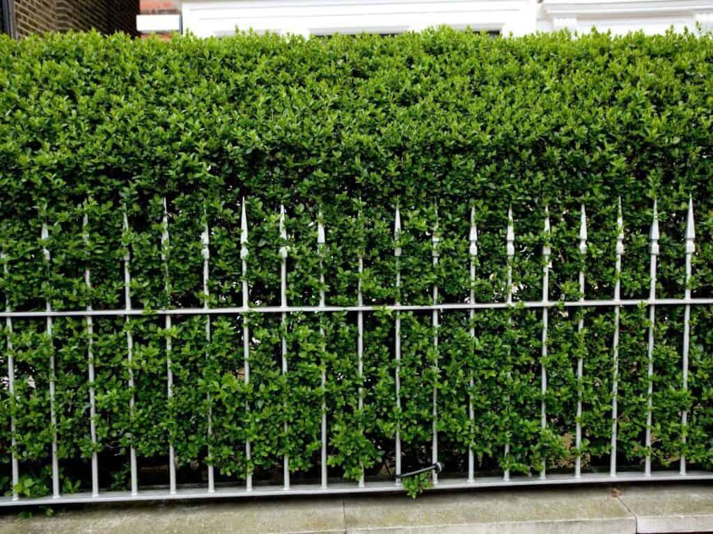 Hedge of ligustrum