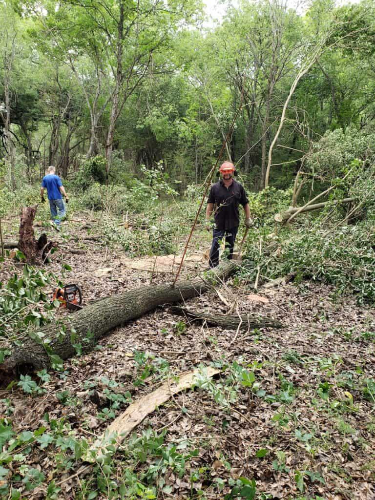 Cutting down ligustrum / privet trees in nature sanctuary.