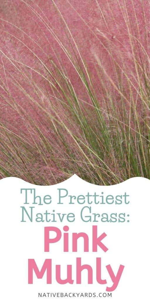 Muhly grasses