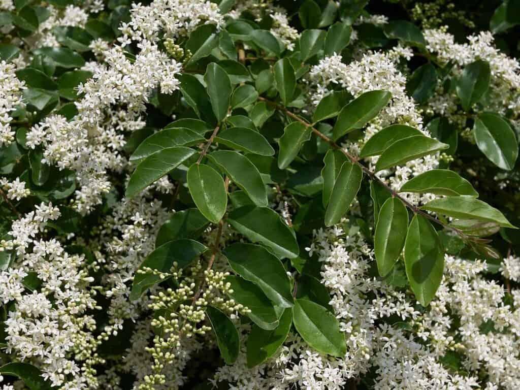 White flowers on ligustrum (privet)