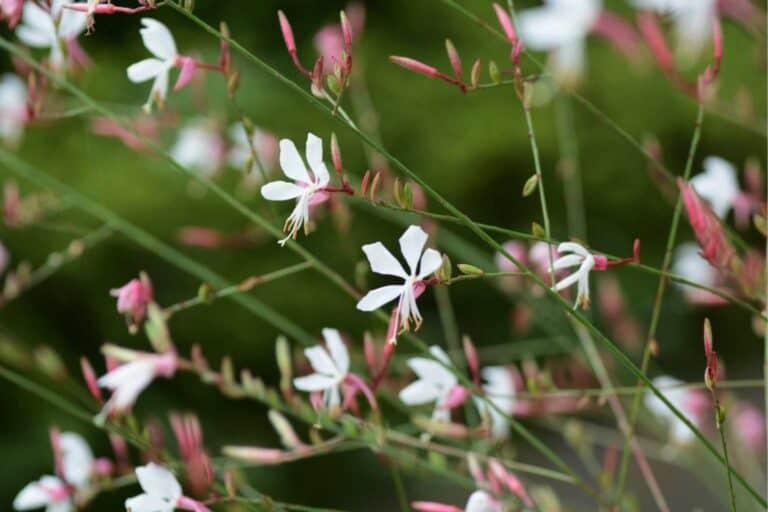 Gaura lindheimeri: A Must-Try Flower for Your Garden